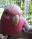 sisi's parrot